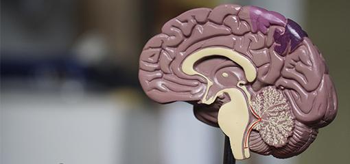 Los neurotransmisores y sus roles
